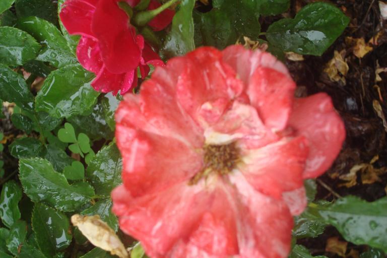 NY Botanical Gardens Bronx Roses Mid-June 2015-53