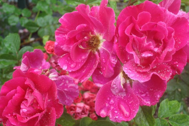 NY Botanical Gardens Bronx Roses Mid-June 2015-56