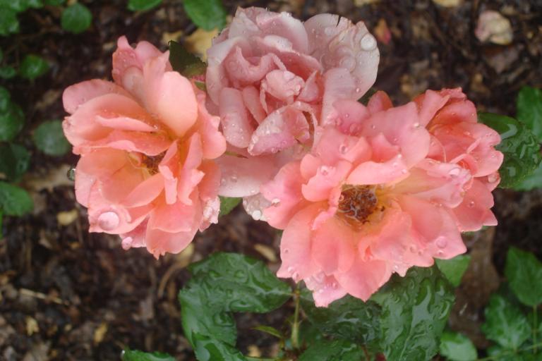 NY Botanical Gardens Bronx Roses Mid-June 2015-58