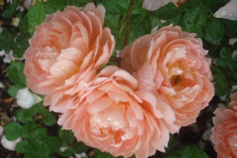 NY Botanical Gardens Bronx Roses Mid-June 2015-65