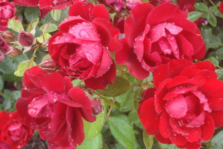 NY Botanical Gardens Bronx Roses Mid-June 2015-66
