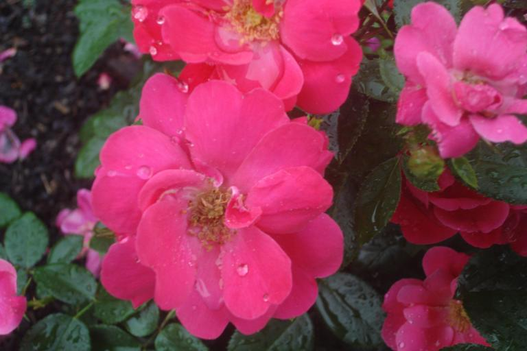 NY Botanical Gardens Bronx Roses Mid-June 2015-67