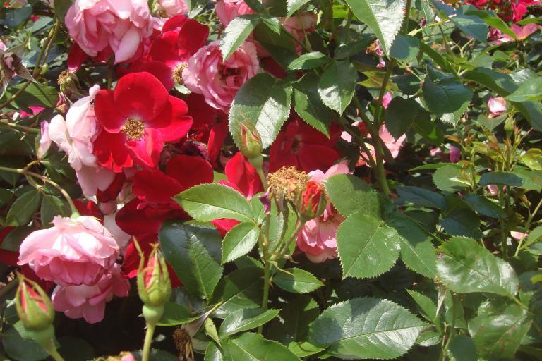 Roses Brooklyn Botanical Garden June 2015-096