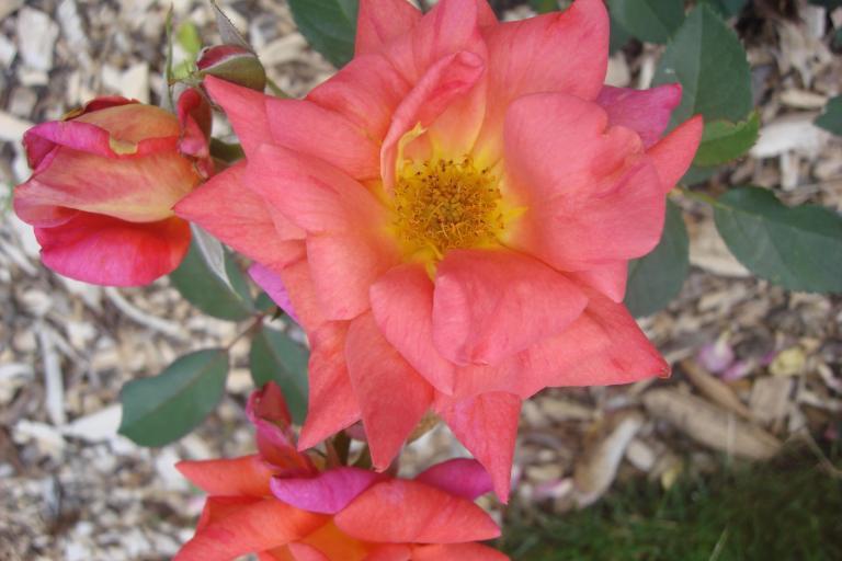 Roses Brooklyn Botanical Garden June 2015-125
