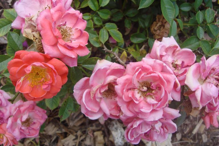 Roses Brooklyn Botanical Garden June 2015-127