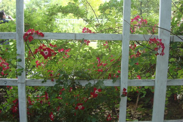 Roses Brooklyn Botanical Garden June 2015-132