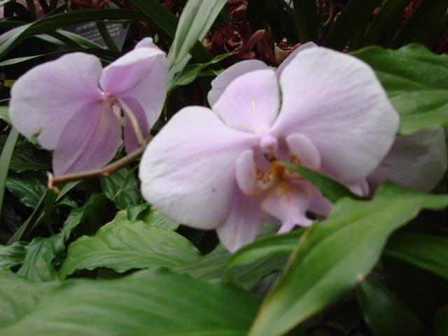 Longwood orchids 04122008012