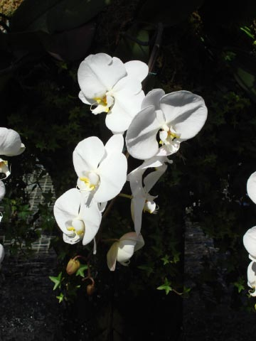 Longwood orchids 1