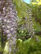 Wisteria Arbor, Longwood Gardens, 2011-02