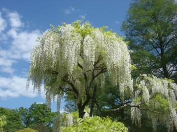 Wisteria Arbor, Longwood Gardens, 2011-16