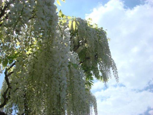Wisteria vine arbor- Longwood, PA-12