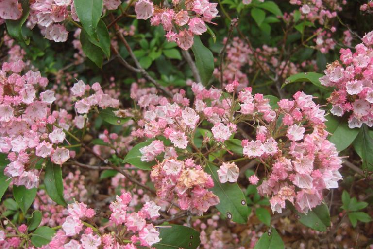 Mountain laurel Mt. Cuba June 2015-1