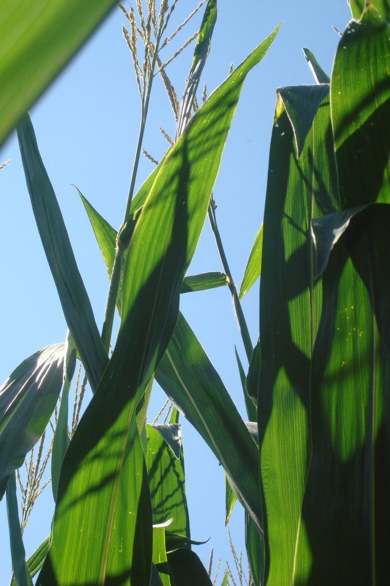 Corn fields Delaware 2015-04