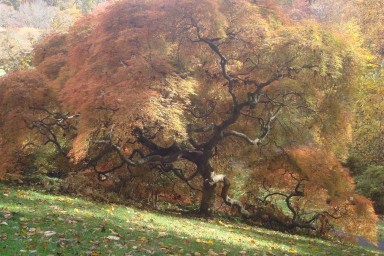 Japanese maple Winterthur October 2015-1 - Copy