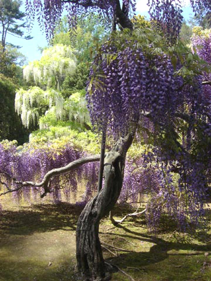 Longwood wisteria arbor May 9 2011 2