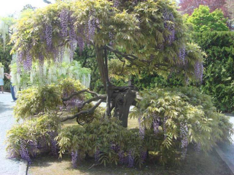 Wisteria Arbor, Longwood Gardens, 2011-08