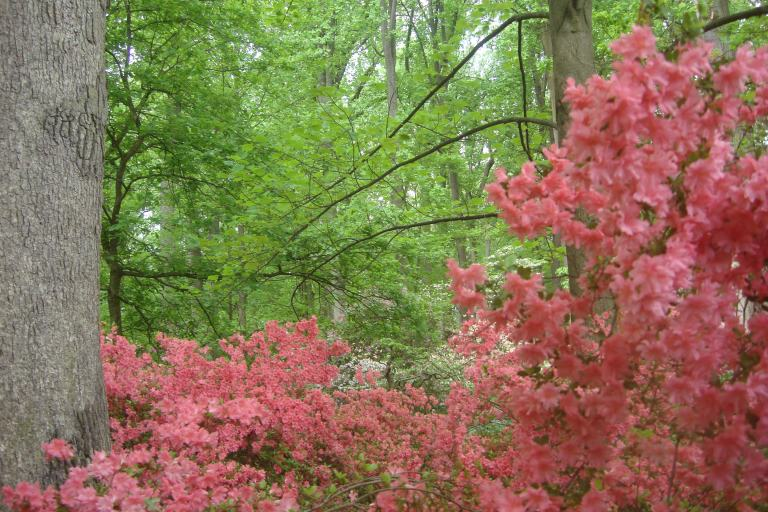 Azalea woodlands Winterthur May 2015-11