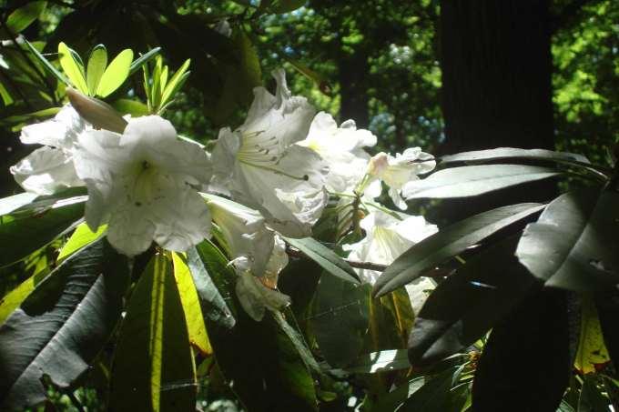 Rhododendrons, Winterthur, DE-07