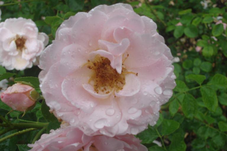 NY Botanical Gardens Bronx Roses Mid-June 2015-46