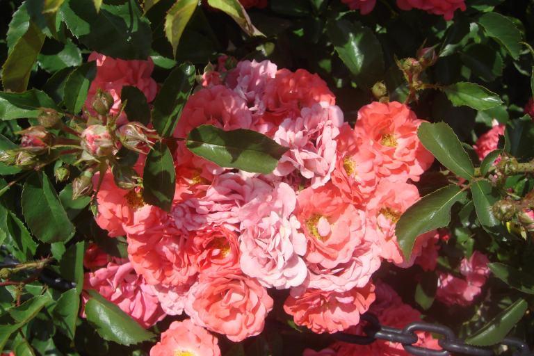 Roses Brooklyn Botanical Garden June 2015-076