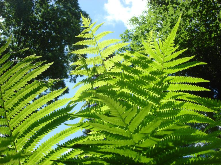 Ferns, early summer, Winterthur, DE-13