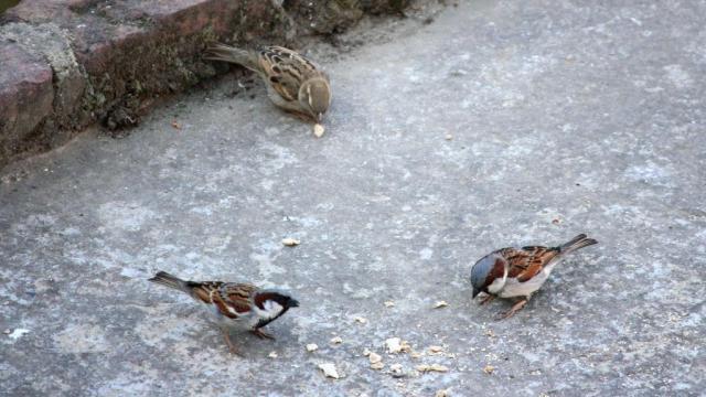 Sparrow - Birding Diary - 1