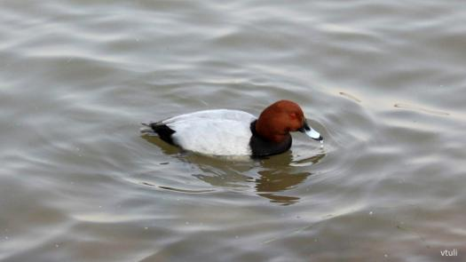 Common Pochard - Birding Diary - 3