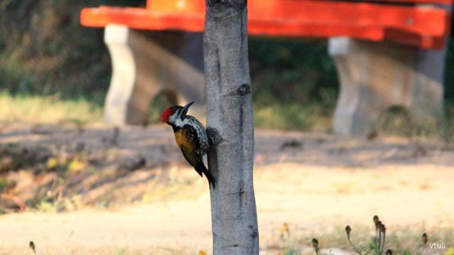 Golden Backed Woodpecker - Birding Diary - 3