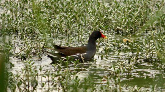 Common Moorhen - Birding Diary - 3