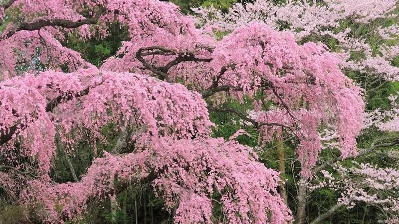Photos-of-Sakura-vinegret (1)