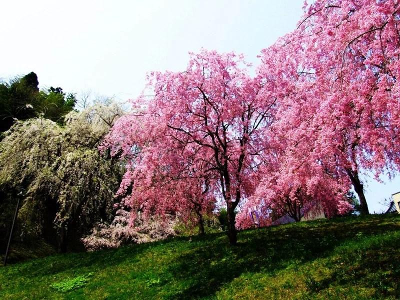 Photos-of-Sakura-vinegret (9)