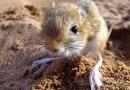 Cамый маленький грызун в мире — белуджистанский тушканчик.