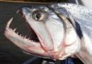 Малоизвестные рыбы-убийцы.