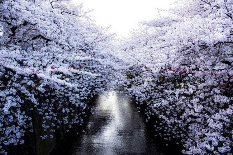 National-Geographic-cvetenie-sakuri-vinegret (2)