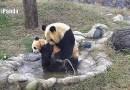 Видео: Мама-панда пытается искупать своего непоседу-малыша (+Бонус).