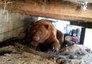 Видео: Медведь отомстил мужику за то, что тот выгнал его из-под своего крыльца.
