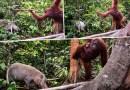 Самка орангутанга смело защитила своего малыша от дикого кабана.