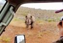 Видео: Носорог атаковал двух фотографов, сидящих в автомобиле.