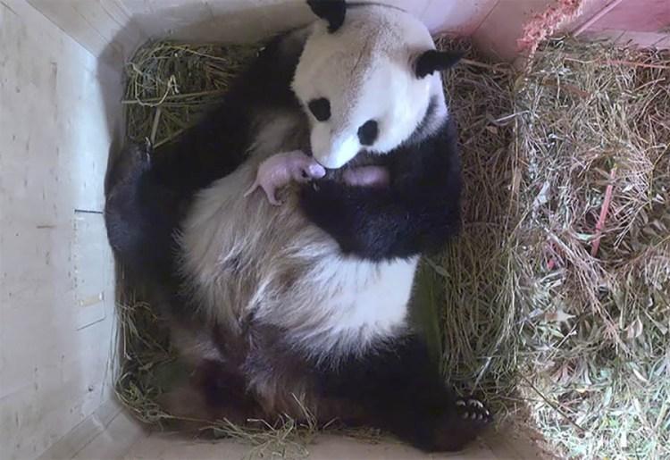 giant-panda-twins-birth-yang-yang-schonbrunn-zoo-vinegret (2)