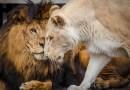 У умирающей львицы не было никаких шансов выжить, но потом она нашла свою любовь.