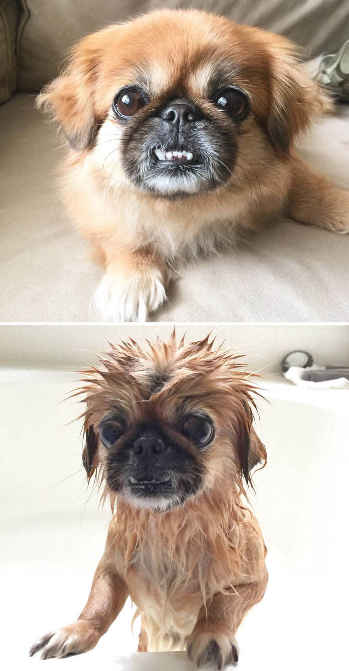 wet-dogs-before-after-bath-vinegret (5)