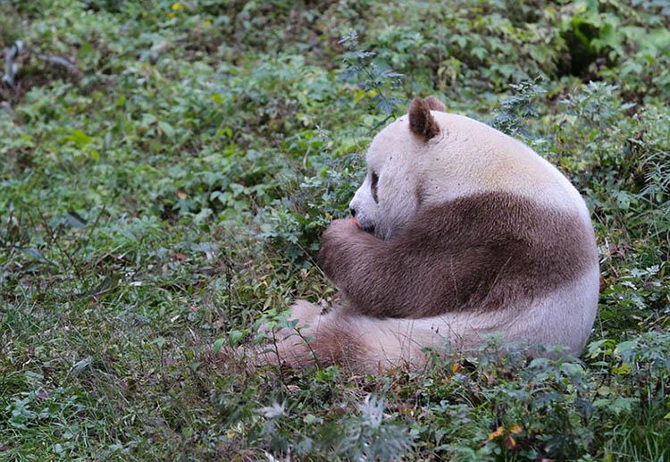 abandoned-brown-panda-qizai-vinegret-2