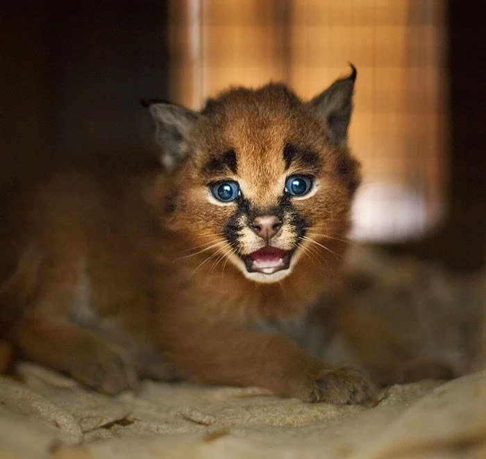 cute-baby-caracals-vinegret-8