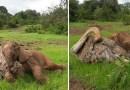 Осиротевшие страус и слоненок прижимаются друг к другу, чтобы ощутить себя лучше после потери своих мам.