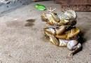 Добро пожаловать в Австралию, в место, где жаб можно штабелировать. [Видео]