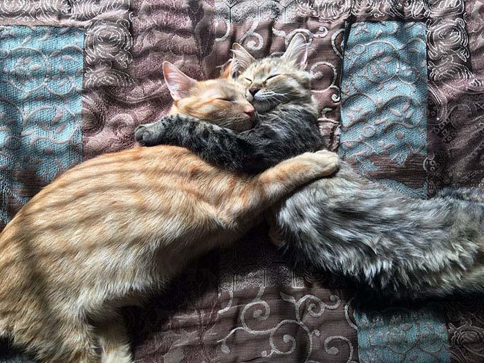 cats-kissing-in-love-louie-luna-vinegret-5