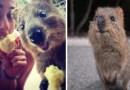 Квокка — самое счастливое животное в мире.