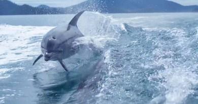 Красивое видео, в котором величественные создания — дельфины, следуют за лодкой.