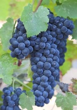 Variedade de uva – Malbec