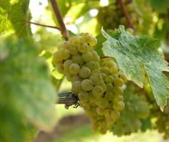 Vinhos da variedade Riesling – degustação